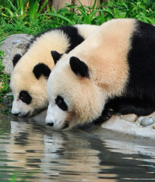 endangered panda essay The giant panda is a small black and white bear the giant panda essay by cheat4dastars but endangered, pandas.