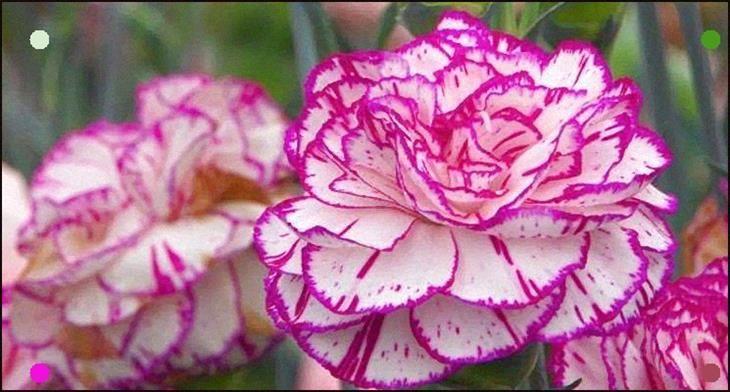 Dianthus Caryophyllus O Clavel Comn Cuidados Y Cultivo Dianthus Caryophyllus Carnations Garden Flower Beds