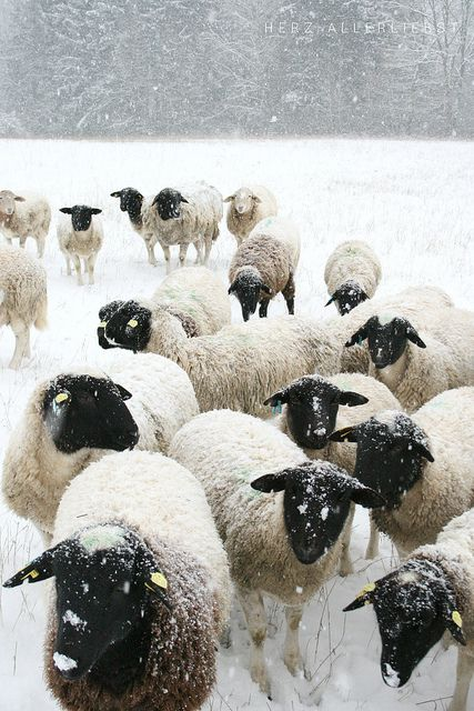 Sheep on a Snowy Day in the Country by Nadine / Wintertag by herz-allerliebst, via Flickr