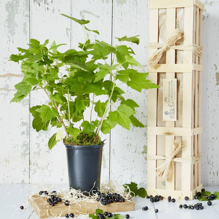 A blackcurrant bush is a classic addition to the garden and a thoughtful gift for those who'd love to grow their own delicious berries.PLEASE NOTE: We always deliver a healthy specimen which will grow vigorously. Each plant will vary in size and shape depending on the time of year and availability. Contact us directly for more information about how plants appear at present.Only the owner of a blackcurrant bush will be aware of the joys of feasting on the sweetly fragrant fruit of a perf...