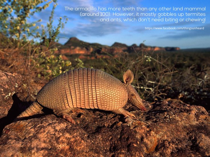 The armadillo has more teeth than any other land mammal (around 100). However, it mostly gobbles up termites and ants, which don't need biting or chewing!