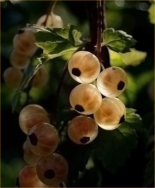 white #currant, currents are a favorite of mine, they really are like little jewels