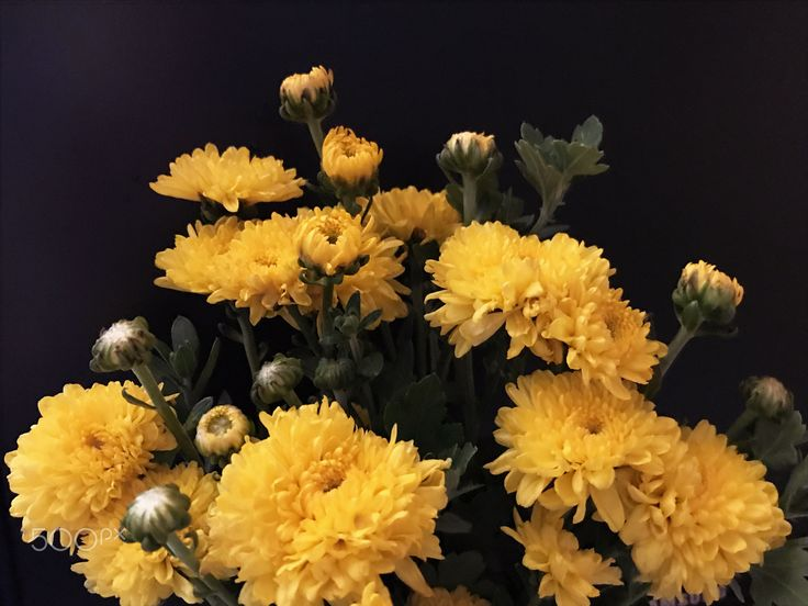 Yellow Chrysanthemum - Yellow Chrysanthemum on Black background