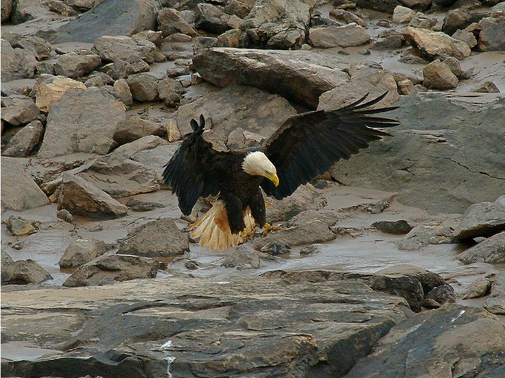 Bald Eagle at the Peticodiac River to feed on the runs of herring and gaspereaux that go up the river to spawn. By © Tom in Moncton (Tom Shillington) via Flickr.com