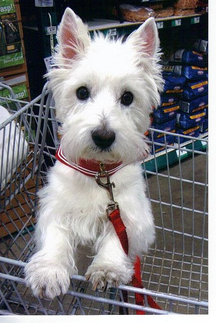 https://flic.kr/p/6Hm41B | westie shops at rona | While shopping in Rona Hardware Store on Canada Day week end, I came across this beautiful West Highland White Terrier.   My sister and I used to show these dogs when we were much younger and I think we both still have a fondness for this breed.   Our own dogs, Rebel and Rhoda were westies.