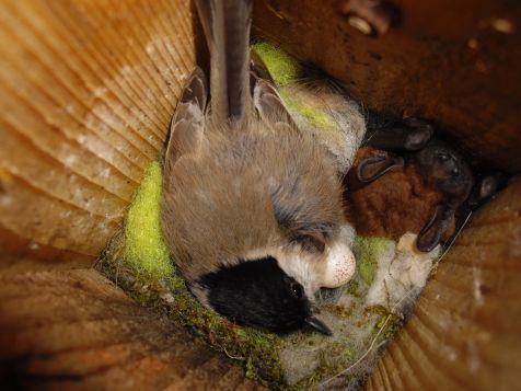 La cohabitation n'existe pas qu'en politique !  Le 13 et le 23 avril 2012, un bagueur hollandais, Bertus van der Laan, a constaté la présence d'une Noctule commune (Nyctalus noctula) dans un nichoir occupé par des Mésanges nonnettes (Poecile palustris) à Crailo aux Pays-Bas