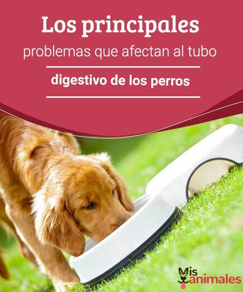 Los principales problemas que afectan al tubo digestivo de los perros  Los alimentos en mal estado o el estrés son algunas de las causas que afectan el tubo digestivo de los perros. Lee aquí información sobre estos problemas. #alimentos #daños #tubodigestivo #salud