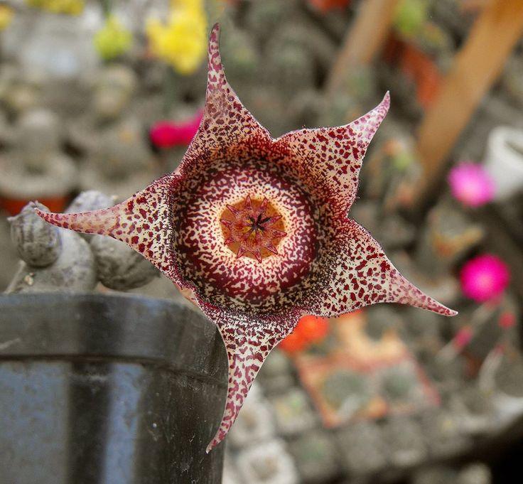 Orbeanthus hardyi