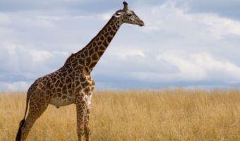 What do giraffes eat? - Online Biology Dictionary