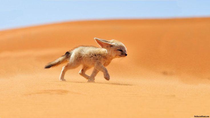 Fennec Fox Google Search O For A Fox Of My Own