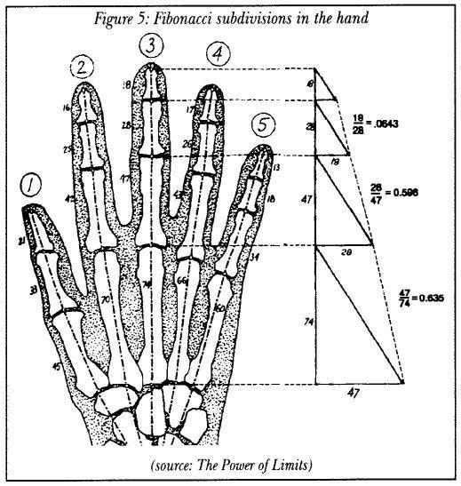 Fibonacci subdivisions in the hand.