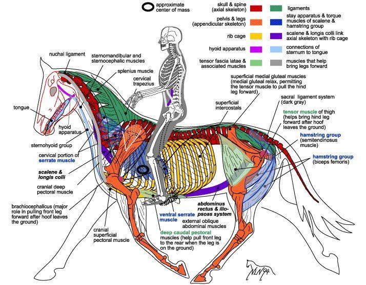 20 besten anatomy horse and rider Bilder auf Pinterest   Pferd ...