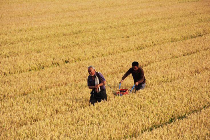 Agricultores atravessam um campo de #trigo, na província de #Henan, na #China. Foto Liu Xiaokun/Xinhua. Veja mais imagens do dia em http://uol.com/bsfn7T