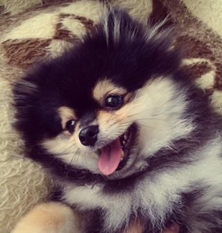 They also come in different colours, which is amazing because you can eventually just buy one in every shade and live in a dog mansion. | For Everyone Who Absolutely Adores Pomeranians