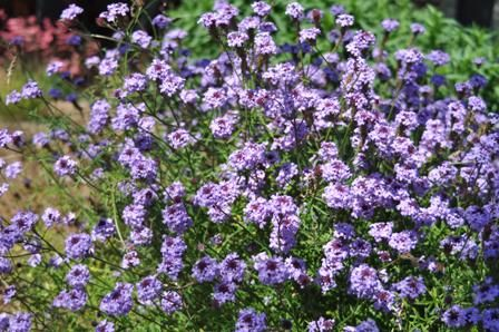 """Haven't seen this in person ... """"Lilac verbena. Against the wall. Verbena lilacina A mounding shrub that has fragrant purple flowers during much of the year. Makes a wonderful border plant and addition to rock gardens."""""""