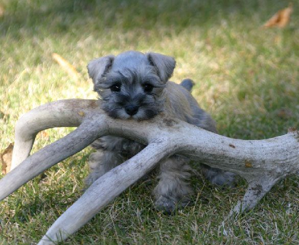 Miniature Schnauzer Colors | Miniature Schnauzer Puppies For Sale, males and females, parties ...