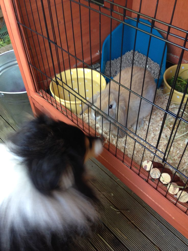 Ollie the Rabbit and friend Flynn the Sheltie