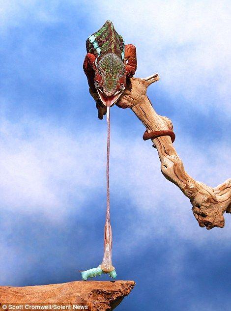 Chameleon catches its prey