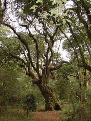 E TUDO LEVA À...PERÍCIA: Árvore Símbolo de Santa Catarina: Imbuia
