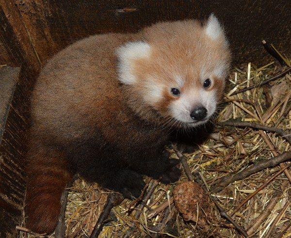 Mládě pandy červené. Foto: Zoologická zahrada Ústí nad Labem, p.o.