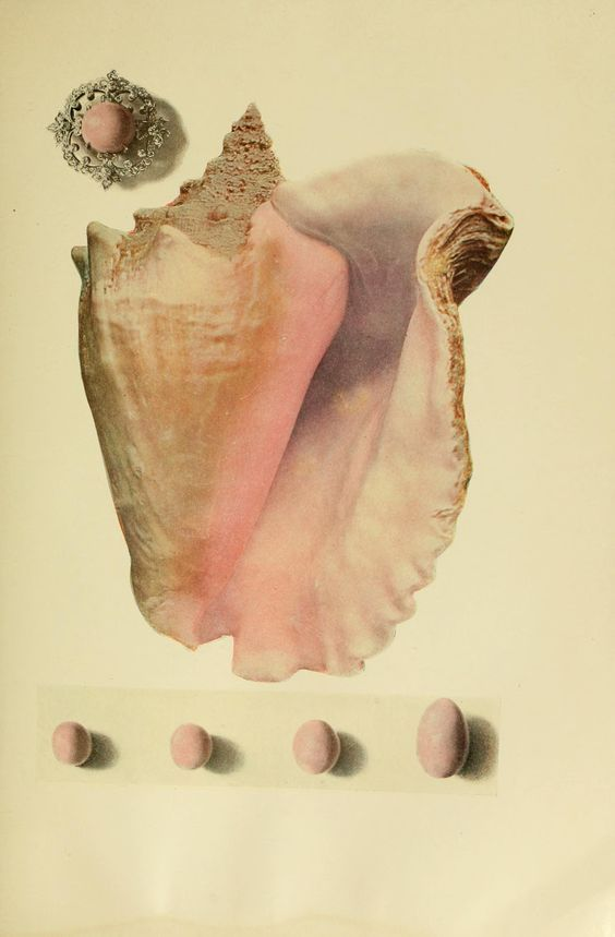 U201cshell And Pearls Of The Common Conch U201d From The Book Of The Pearl 1908