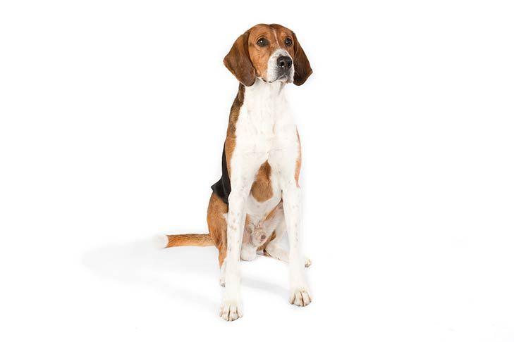American Foxhound Dog Breed Information Dog Breeds Beagle Dog