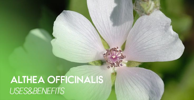 Althea officinalis - 100% natural Siberian herbs that contain no GMOs, dyes, flavors or other artificial additives