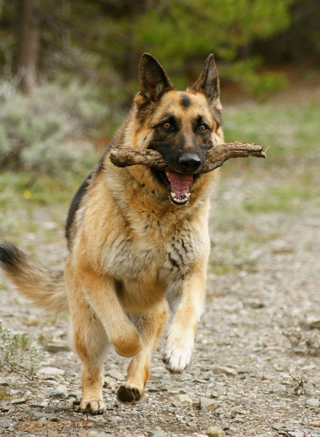 17 best images about german shepherds on pinterest water coolers beautiful dogs and animals. Black Bedroom Furniture Sets. Home Design Ideas