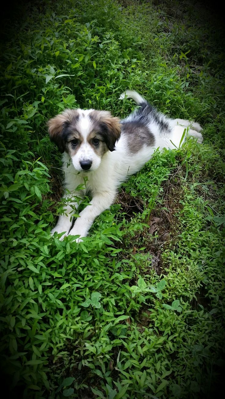 Great Pyrenees/ Border Collie mix.