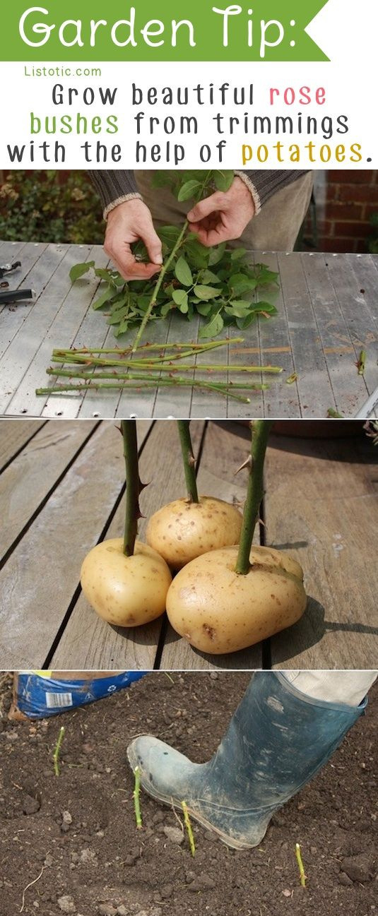 "Grow Beautiful Rose Bushes from Trimmings with the Help of Potatoes (from ""20 Insanely Clever Gardening Tips Ideas"")"