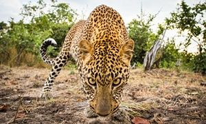 'Until we know population numbers and carrying capacity we should not hunt them,' Andrew Muir of the Wilderness Foundation said of the leopard-hunting ban.