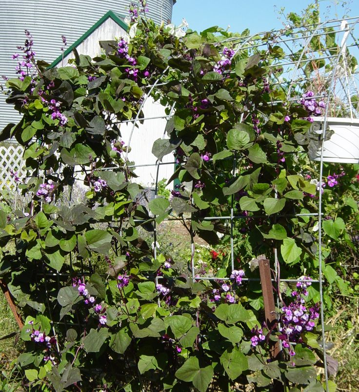My favorite vine...super easy to grow...pops with deep purple the picture does not do it the justice it deserves  purple hyacinth bean vine