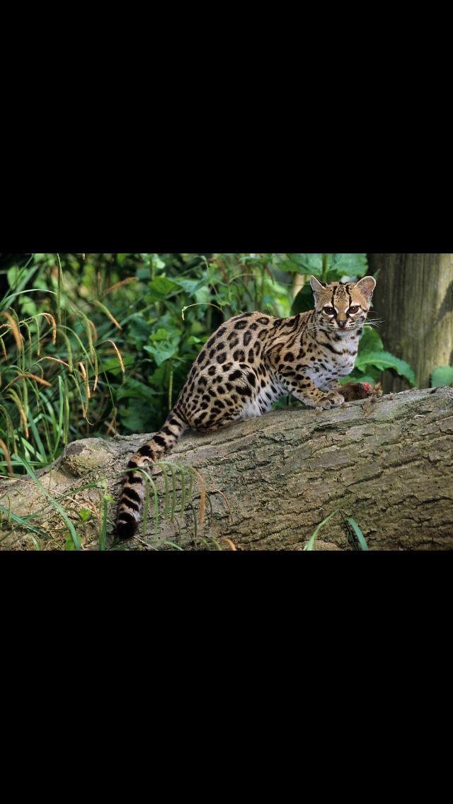 Este bonito animal aunque parezca un guepardo o leopardo no lo es, es un margay  un animal no muy extendido por el mundo