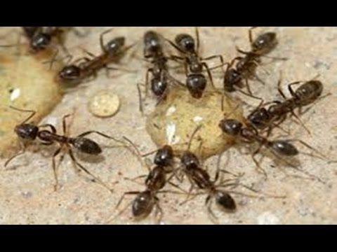 Dicas naturais para se livrar das formigas - YouTube