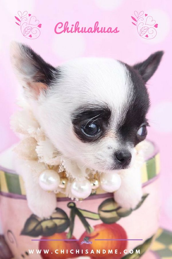 Title Everything You Need To Know About Chihuahuas Teacup