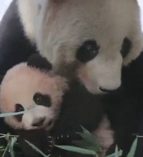 Peanut was bonding with her mother, Guo Guo, who wanted to show her daughter how to walk...