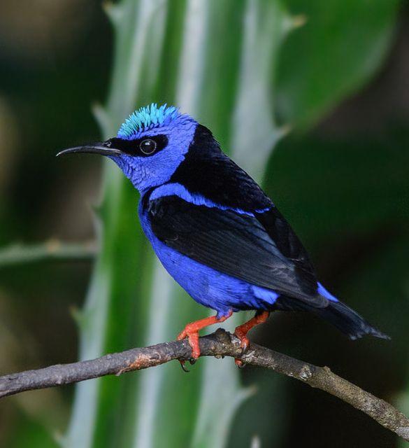 Foto saíra-beija-flor (Cyanerpes cyaneus) por Ronaldo Koloszuk   Wiki Aves - A Enciclopédia das Aves do Brasil