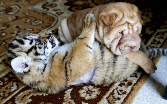 Cadela russa adota filhotes órfãos de tigre siberiano - Meio Ambiente - iG