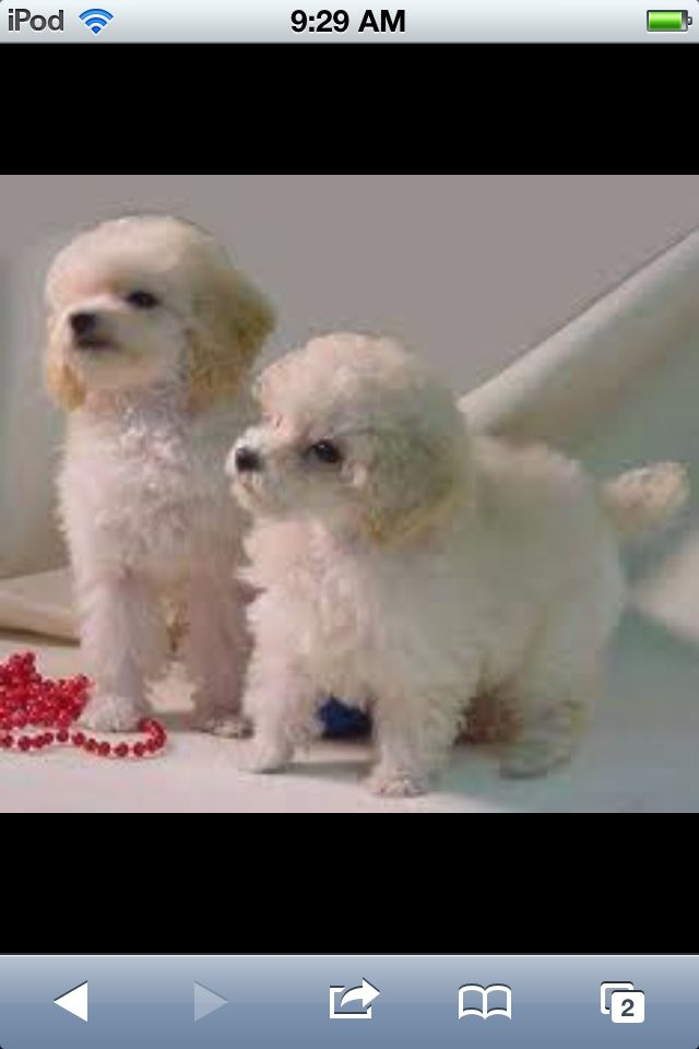 Toy poodles so sweet<3
