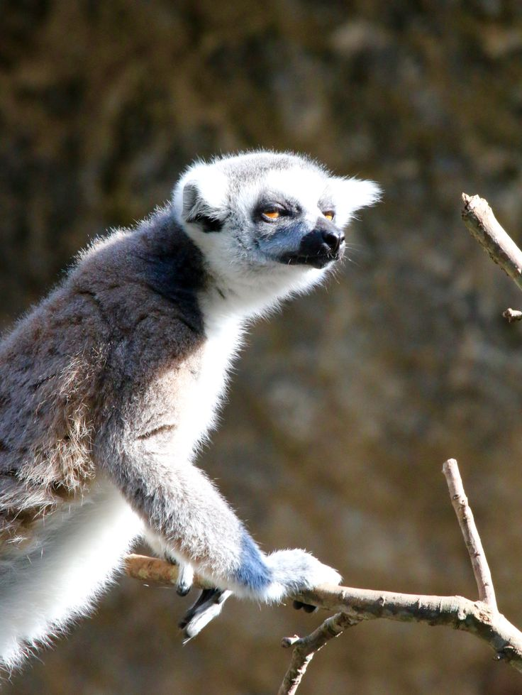 Omg its YOU again....   Lemur looking miffed.