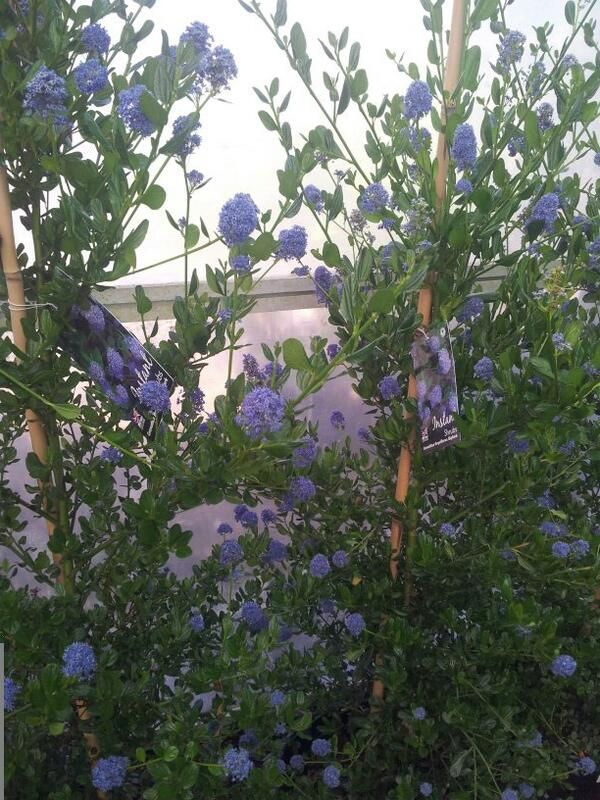 Ceanothus skylarks are evergreen shrubs that the bees just cant get enough off
