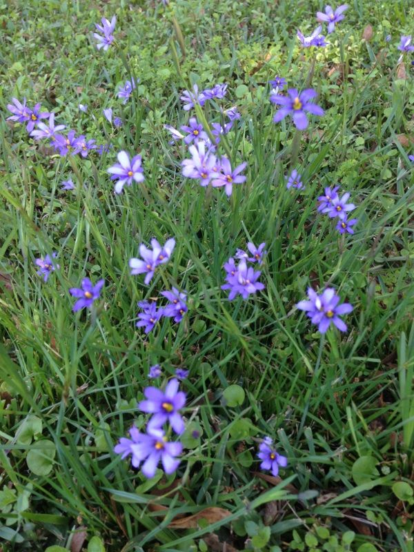 Blue Eyed Grass Amsonia This Appears To Be A Winter Flowering