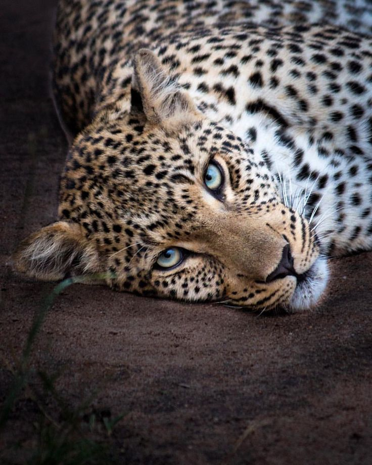 """Chené Wales-Baillie (@chenewbaillie) on Instagram: """"Those icy-blue, wild eyes that stare straight into the soul. """" #Leopard #Africa #Wildlife"""