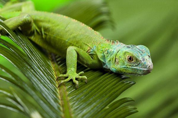 La dieta de la iguana verde, ¿qué comen las iguanas?