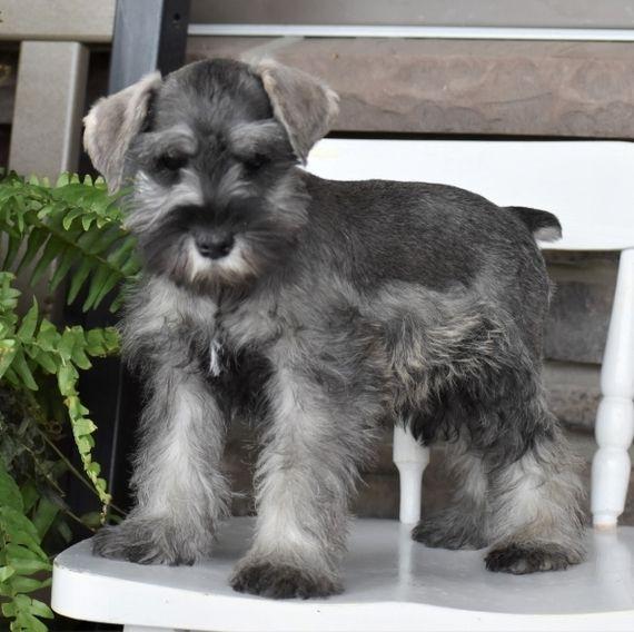 Velvet Schnauzer Puppy Puppyspot Schnauzer Schnauzer Puppy Miniature Schnauzer Puppies