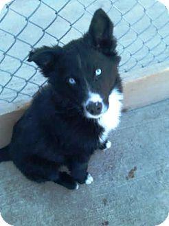 Kirkland, WA - Border Collie/Husky Mix. Meet Hendricks, a puppy for adoption. http://www.adoptapet.com/pet/11970260-kirkland-washington-border-collie-mix
