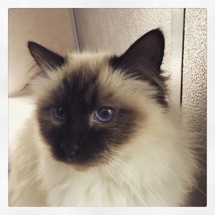 Our stunning #Birman has finally been able to join us in #newzealand. Stunning quarantine facilities at #Qualifiedpetservices. Counting the days till he comes home