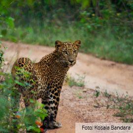 Als je in de veronderstelling bent dat Afrika de enige plek is waar je een spannende jeepsafari maakt, dan heb je het mis. [Sri Lanka], de zogenaamde parel van het oosten, telt namelijk een indrukwekkend aantal nationale parken met een biodiversiteit waar je u tegen zegt. Elk nationale park heeft haar...