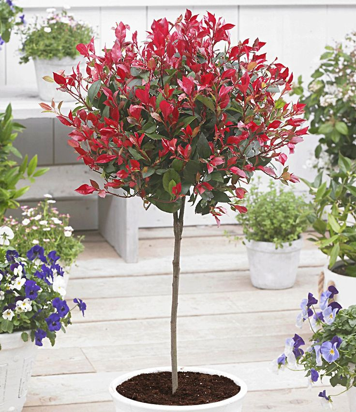 Immergrünes Photinia-Stämmchen 'Little Red Robin®'