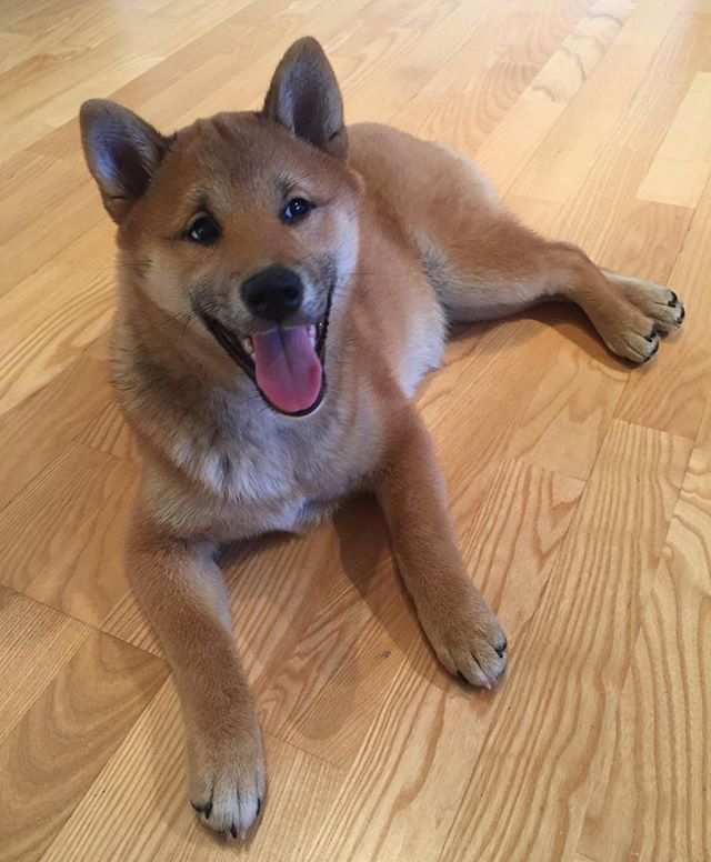 Good morning  #shibainu #shiba #inu #shibalove #shibalovers #shibalife #shibainugirl #shibagirl #dog #doge #doggy #pet #puppy #dogoftheday #dogofinstagram #instadog #instashibainu #happy #mornings #love #smile #cute #piesel #pieselek #pieseł #柴犬